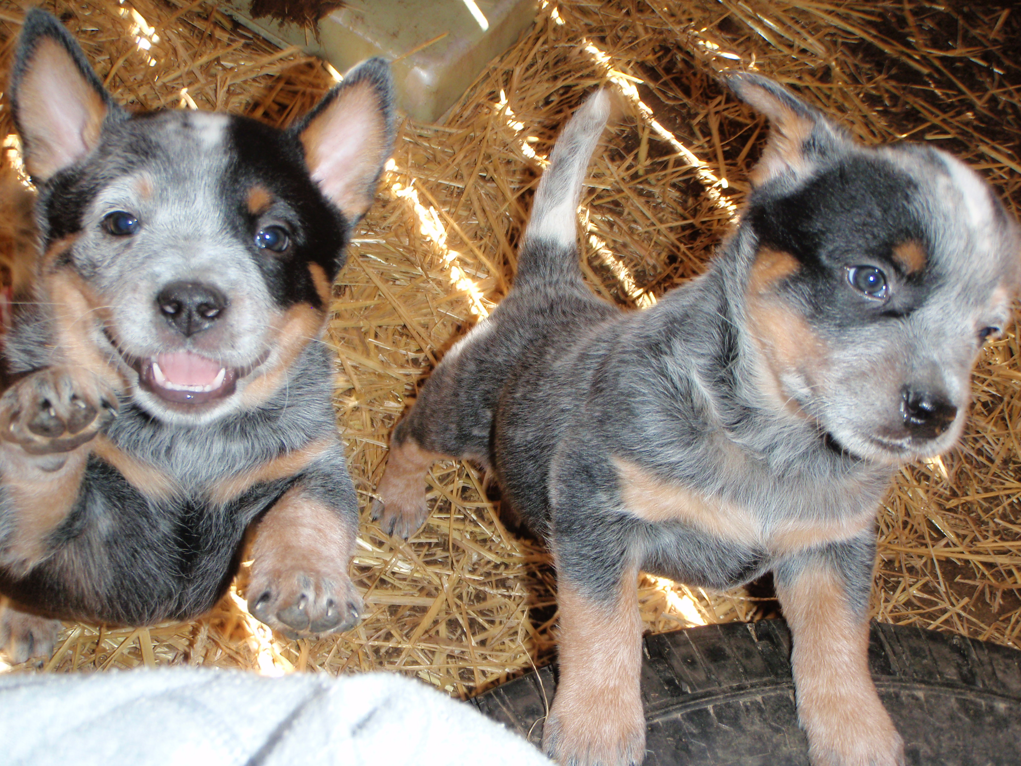 Australian Cattle Dog Breeds with Dogs for Sale in MO